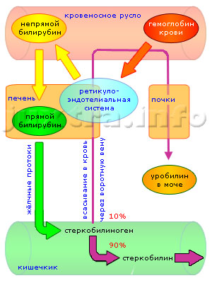Схема 1. Непрямой и прямой билирубин — пути преобразования и выведения из организма