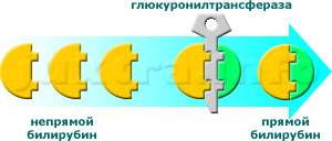 Превращение непрямого билирубина в прямой происходит в печёночных клетках на поверхности т. н. микросом при участии фермента глюкуронилтрансферазы