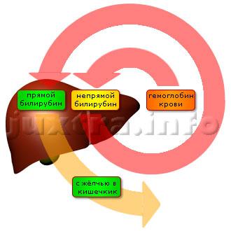 Схема 1. Обмен билирубина в организме. Билирубин проходит в организме длинный путь (на схеме он предельно упрощен), и причина расстройства его выведения может находиться на любом его участке — в кровеносной системе, в печеночных клетках, в жёлчевыводящих путях.