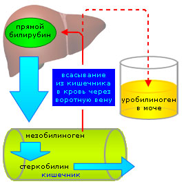 Схема метаболизма уробилиногена