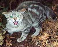 Агрессивная форма бешенства у кошки
