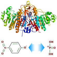 Структура молекули лужної фосфатази та механізм її дії на прикладі p-нітрофеніл-фосфату