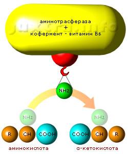 Трансаминазы (АЛТ, АСТ) осуществляют каталитическое трансаминирование — перенос аминогруппы (NH2) между молекулой аминокислоты и молекулой α-кетокислоты