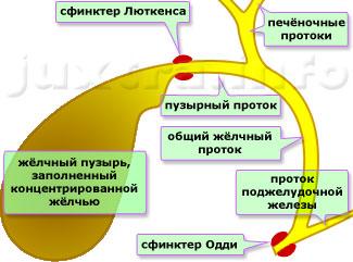 Строение жёлчевыводящей системы