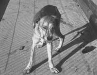 Пізня стадія сказу у собаки