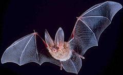 Летюча миша - природний резервуар сказу