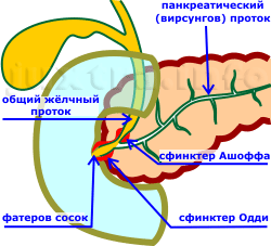 особенности впадения протока поджелудочной железы и общего жёлчного протока в двенадцатиперстную кишку