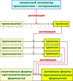 схема активации протеолитических ферментов поджелудочной железы