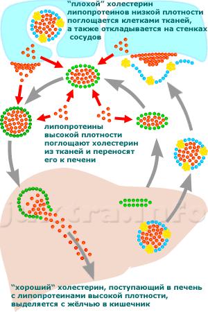 Механизм воздействия артишока и его препаратов на обмен холестерина