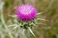 Цветок розторопші плямистої